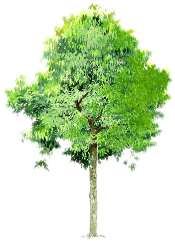 手绘总图 手绘立面 手绘亭子  所属分类:园林设计图  手绘乔木带植物