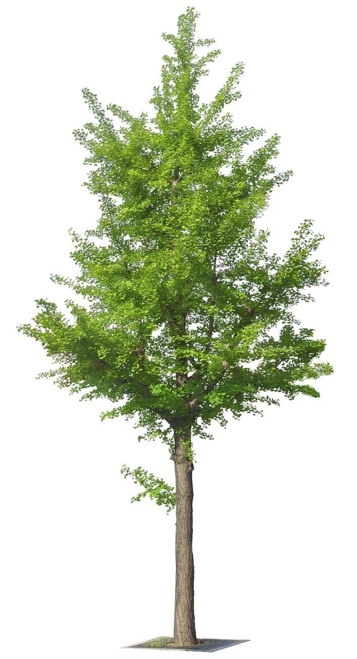 图纸 园林设计图 园林景观素材 植物素材图例 精品树素材  (0人评价)